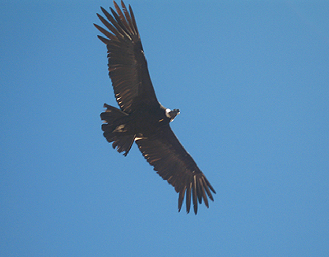 The flight of the Majestic Condor a common view  at the Colca Canyon>